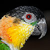 Chico - Black Faced Caique