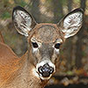 Mommie Deerest - White Tailed Deer